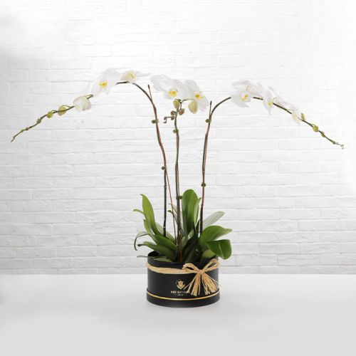 3 White Phalaenopsis Plant In Black Box