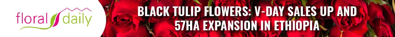 Black Tulip Flowers: V- Day Sales Up and 57ha Expansion in Ethiopia